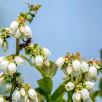uzgoj-borovnica-11