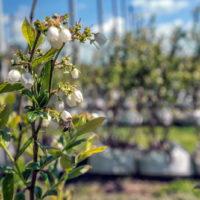 uzgoj-borovnica-15