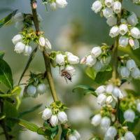 uzgoj-borovnica-7